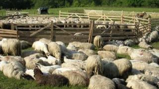 Se poate prelungi termenul pentru valorificarea lânii