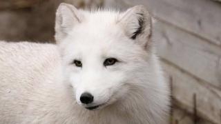 O vulpe polară a fugit din Microrezervație... de pofta unui pescăruș