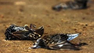 Dezastru ecologic! Sute de păsări au murit după ce au mâncat otravă pentru șobolani