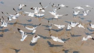 Cinci pescăruşi găsiţi morţi pe malul lacului Griviţa, depistaţi cu gripă aviară