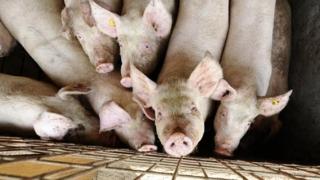 Evoluția pestei porcine africane în  județul Constanța