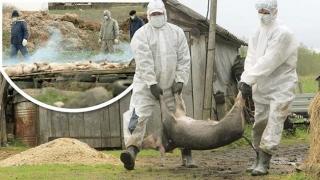 Pesta Porcină Africană, confirmată într-un abator din Tulcea