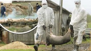 Anchetă epidemiologică la Constanţa! Mor porci la Vadu şi Corbu!