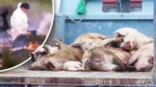 APC: ANSVSA - groparul economiei de subzistență de la țară, din cauza uciderii a 155.000 de porci!