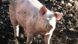 Pesta Porcină Africană se EXTINDE în România!