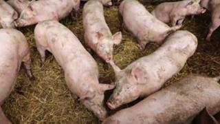 Pesta Porcină Africană, confirmată în gospodării din apropierea județului!