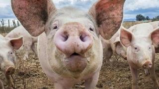 Pesta Porcină se extinde?! Unde a mai lovit