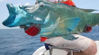 Peștele buzat Napoleon, prada preferată a braconierilor. E pe cale de dispariție