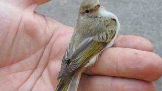 Descoperită la Agigea. România are o nouă specie de pasăre sălbatică