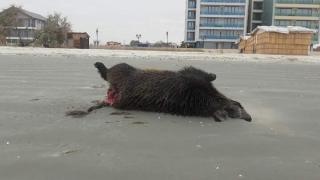 Înfiorător! Mistreți găsiți morți și sfâșiați, pe plajă în Mamaia Nord