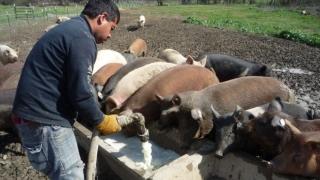 Producătorii români dau laptele la porci, iar statul importă la greu