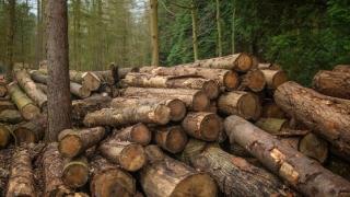 Cea mai mare tăiere ilegală de arbori din România: 100.000 de metri cubi, raşi de pe faţa pământului, în Maramureş