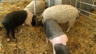 Program de sprijin pentru crescătorii de porci din rasele Bazna și Mangalița!