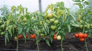 Programul de sprijin pentru tomate continuă și în 2019