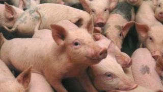 ALERTĂ! Măsuri pentru prevenirea pestei porcine la Constanța