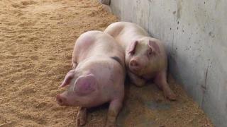 La Constanța au început plățile pentru porcii sacrificați din cauza pestei porcine