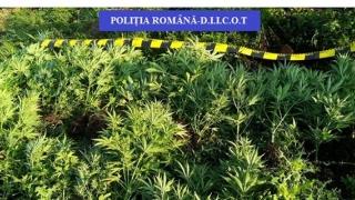 România riscă să devină țară furnizor de droguri! Numărul culturilor a crescut