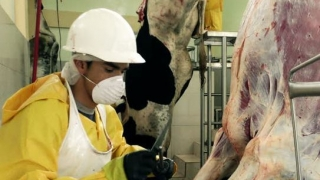 Români infectaţi cu COVID-19, depistaţi la un abator din Olanda. Aproximativ 270 de cetăţeni români lucrează în cadrul companiei