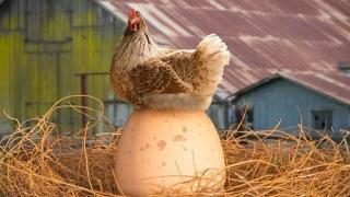 """S-a aflat răspunsul la întrebarea """"Care a fost primul - oul sau găina?""""!"""