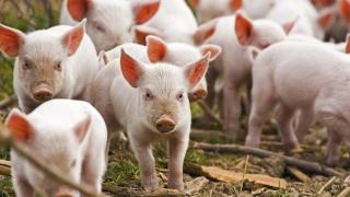 Se cere anchetă parlamentară legată de pesta porcină