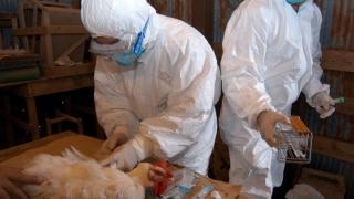 Încă o suspiciune de gripă aviară în județul Constanța