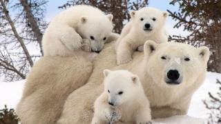 Sute de urşi polari şi-au dat întâlnire la... masă