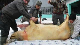 Ignat, ziua în care sunt sacrificați porcii pentru Crăciun