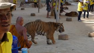 """Zeci de cadavre de pui de tigru congelate, descoperite în """"templul tigrilor"""""""