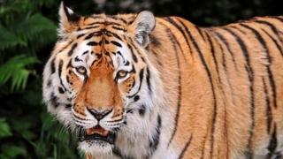 Tigru siberian, tratat, în premieră mondială, cu celule stem