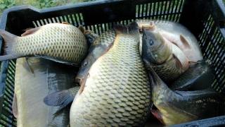 Trimiși în judecată pentru furt de pește