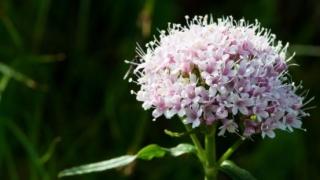 Valeriana – planta care te scapă de insomnii