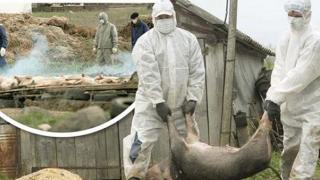 Focar de pestă porcină africană, confirmat în România!