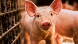 Vezi situația pestei porcine la Constanța și în țară!