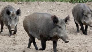 Virusul pestei porcine africane, depistat din nou în România