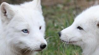 Vulpile polare de la Microrezervație au fost botezate după zei greci
