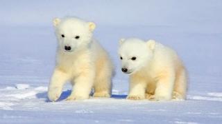Ziua Internaţională a ursului polar