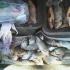 Braconierii nu se lasă! Unelte ilegale și pește fără acte, confiscate
