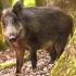 ALERTĂ! Pesta Porcină Africană, la un porc mistreț într-un județ din țară!