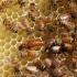 Un sfert din mierea de pe piața internațională este falsificată?!