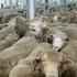 Animals Internațional dă in judecată Guvernul pentru tortură planificată asupra animalelor!