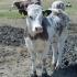 APIA plătește ajutorul de stat pentru ameliorarea raselor de animale