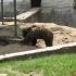 Două persoane au fost atacate de urs în plin oraș