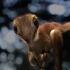 Unicul schelet din lume al unui pui de Tyrannosaurus Rex, scos la vânzare