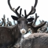 250.000 de reni sacrificați în Siberia, din cauza antraxului