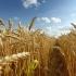 Afacerile cu cereale explodează: în doi ani, profitul a crescut de 5 ori