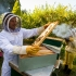Prea mulți apicultori, prea puțini bani