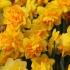 Care este floare Paștelui și ce simbolizează ea!