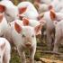 Care este situația Pestei Porcine Africane în România? Vezi Constanța!