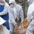 Pesta porcină africană, prezentă în sute de localități din 19 județe