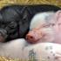Este oficial! În România nu mai există pestă porcină!